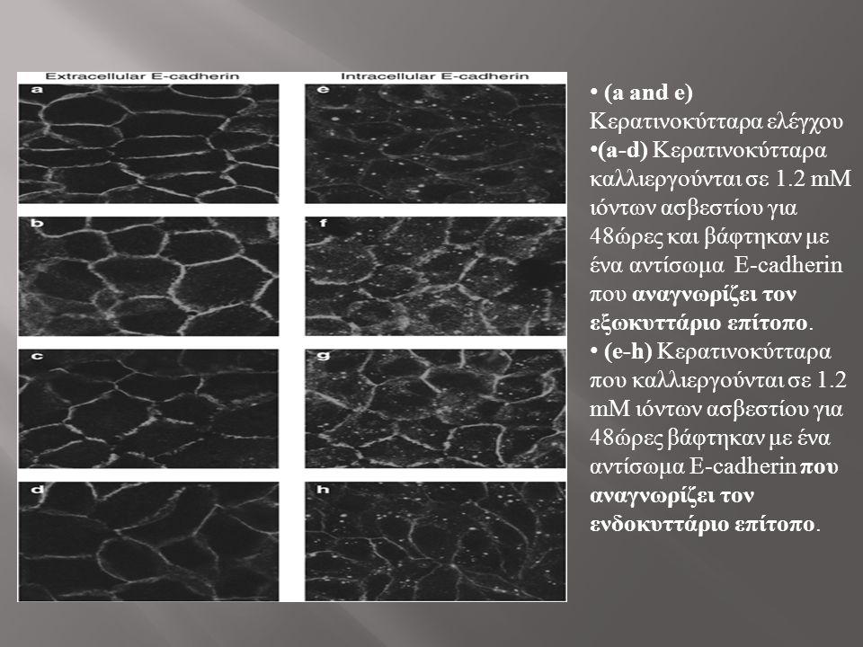 (a and e) Κερατινοκύτταρα ελέγχου (a-d) Κερατινοκύτταρα καλλιεργούνται σε 1.2 mM ιόντων ασβεστίου για 48ώρες και βάφτηκαν με ένα αντίσωμα E-cadherin που αναγνωρίζει τον εξωκυττάριο επίτοπο.