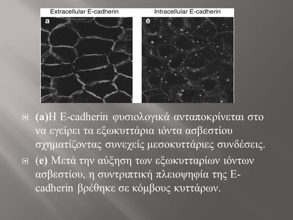 (a)Η E-cadherin φυσιολογικά ανταποκρίνεται στο να εγείρει τα εξωκυττάρια ιόντα ασβεστίου σχηματίζοντας συνεχείς μεσοκυττάριες συνδέσεις.
