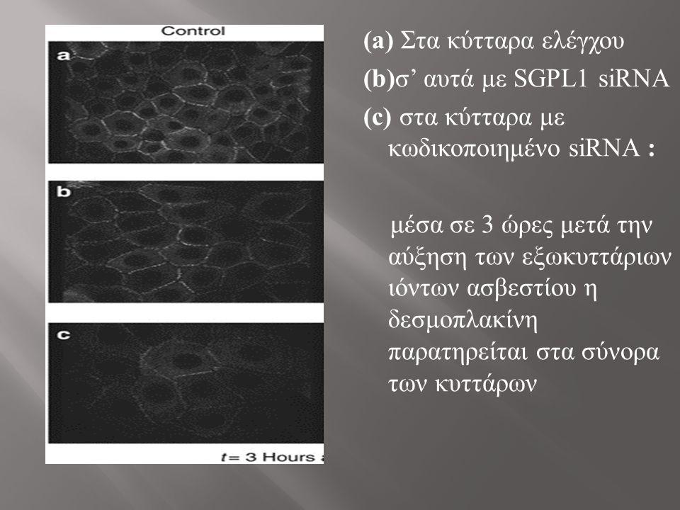 (a) Στα κύτταρα ελέγχου (b)σ' αυτά με SGPL1 siRNA (c) στα κύτταρα με κωδικοποιημένο siRNA : μέσα σε 3 ώρες μετά την αύξηση των εξωκυττάριων ιόντων ασβεστίου η δεσμοπλακίνη παρατηρείται στα σύνορα των κυττάρων