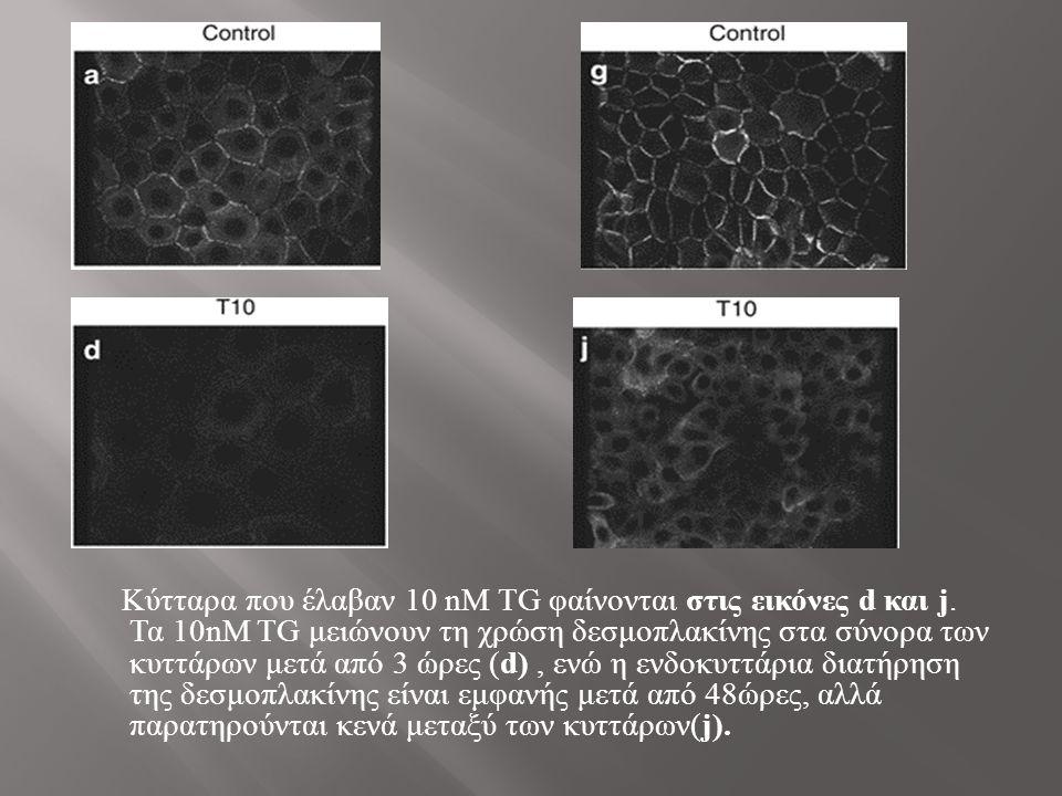 Κύτταρα που έλαβαν 10 nΜ TG φαίνονται στις εικόνες d και j.