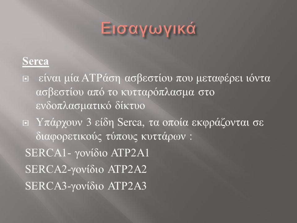 Serca  είναι μία ΑTPάση ασβεστίου που μεταφέρει ιόντα ασβεστίου από το κυτταρόπλασμα στο ενδοπλασματικό δίκτυο  Υπάρχουν 3 είδη Serca, τα οποία εκφράζονται σε διαφορετικούς τύπους κυττάρων : SERCA1- γονίδιο ATP2A1 SERCA2-γονίδιο ATP2A2 SERCA3-γονίδιο ATP2A3