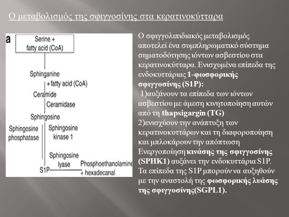 Ο μεταβολισμός της σφιγγοσίνης στα κερατινοκύτταρα Ο σφιγγολιπιδιακός μεταβολισμός αποτελεί ένα συμπληρωματικό σύστημα σηματοδότησης ιόντων ασβεστίου στα κερατινοκύτταρα.