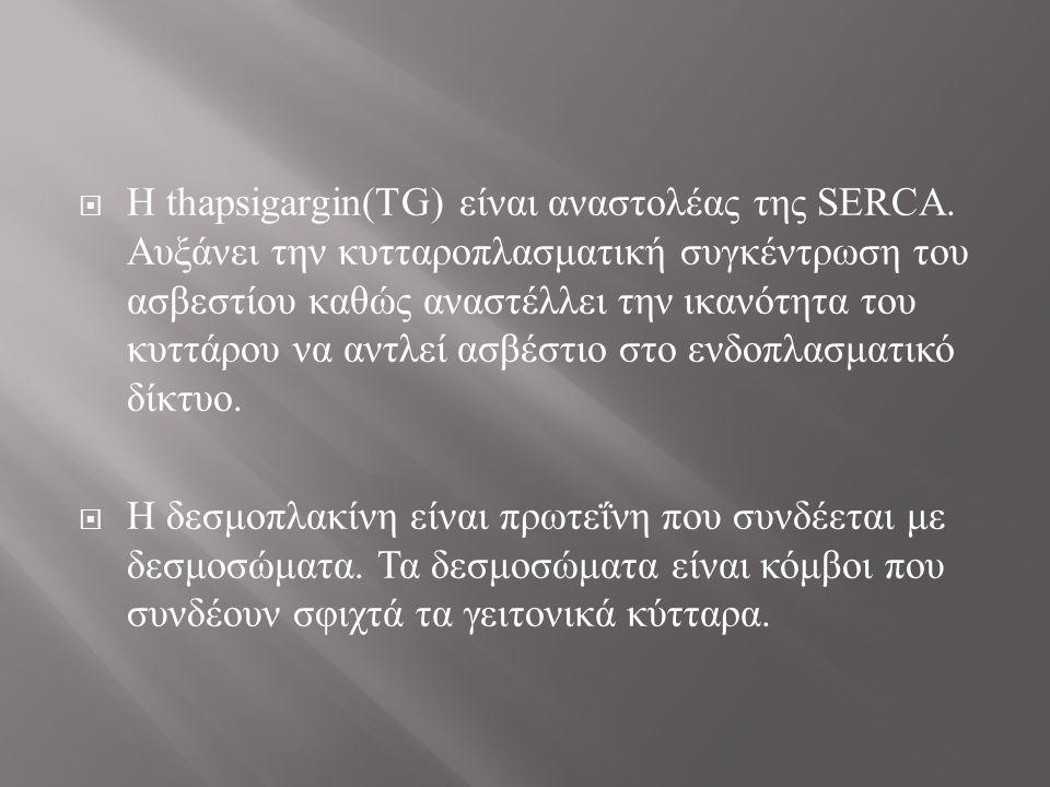  H thapsigargin(TG) είναι αναστολέας της SERCA.