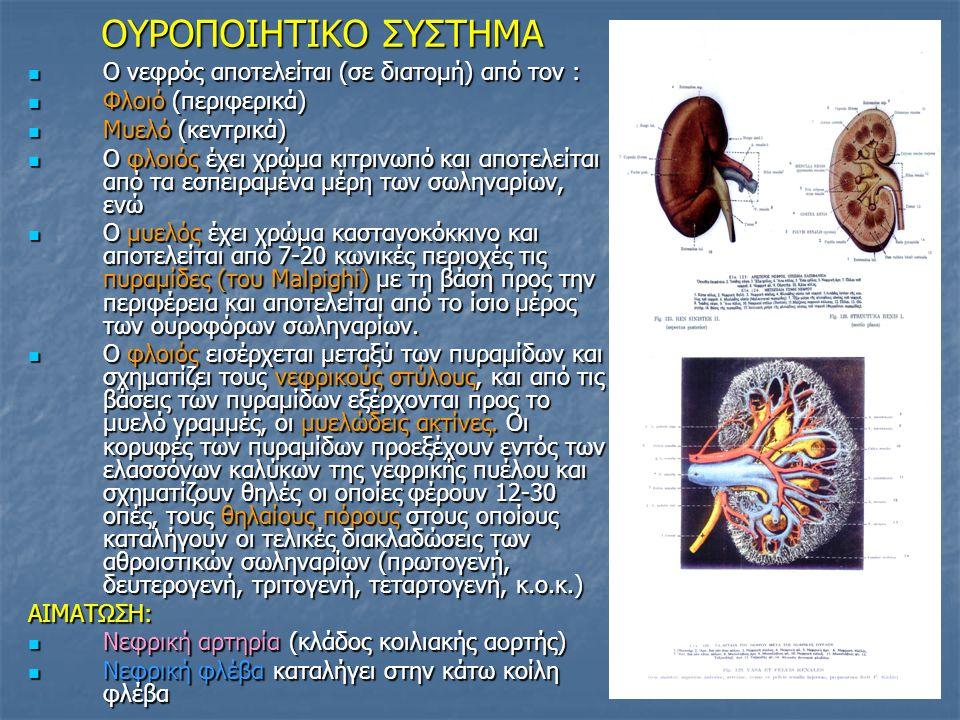 OYΡΟΠΟΙΗΤΙΚΟ ΣΥΣΤΗΜΑ OYΡΟΠΟΙΗΤΙΚΟ ΣΥΣΤΗΜΑ ΝΕΥΡΩΣΗ : ΑΝΣ (Συμπαθητικό- Παρασυμπαθητικό) ΝΕΥΡΩΣΗ : ΑΝΣ (Συμπαθητικό- Παρασυμπαθητικό) ΚΑΛΥΚΕΣ ΝΕΦΡΟΥ: Aποτελούν την αρχή της αποχετευτικής μοίρας του νεφρού.