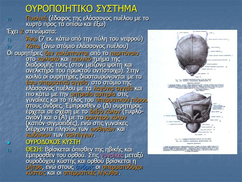 OYΡΟΠΟΙΗΤΙΚΟ ΣΥΣΤΗΜΑ OYΡΟΠΟΙΗΤΙΚΟ ΣΥΣΤΗΜΑ 2) Πυελική (έδαφος της ελάσσονος πυέλου με το κυρτό προς τα οπίσω και έξω) Έχει 2 στενώματα: 1) Άνω (7 εκ. κ