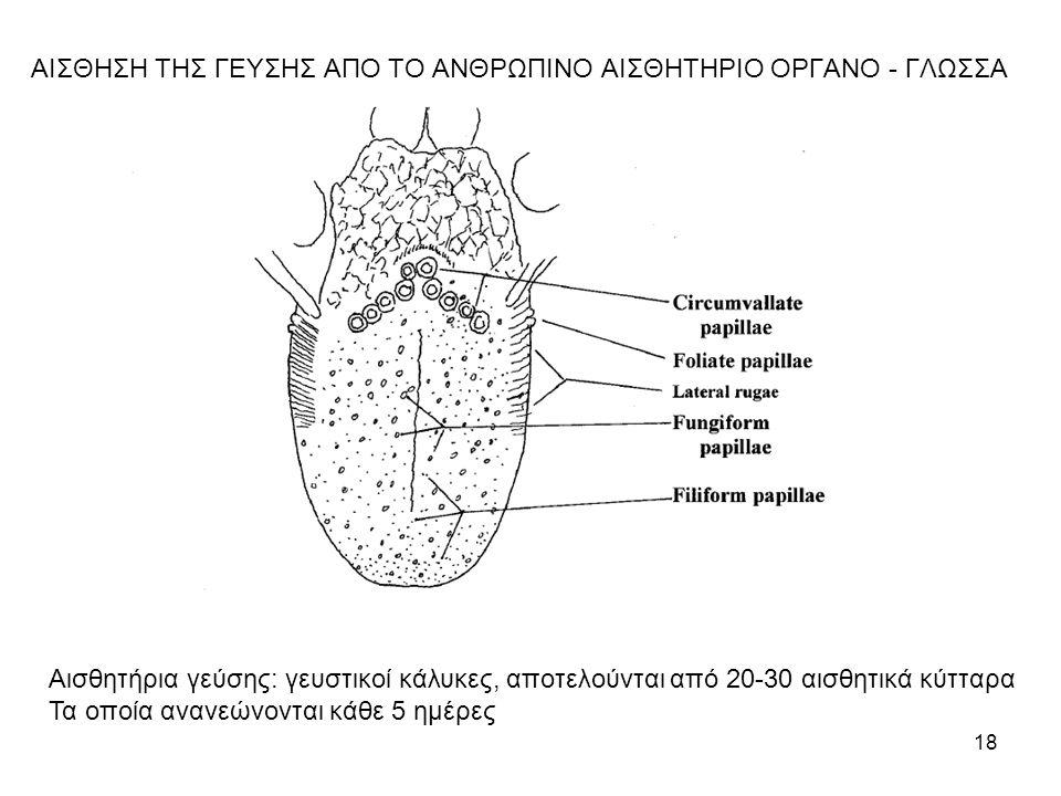 18 ΑΙΣΘΗΣΗ ΤΗΣ ΓΕΥΣΗΣ ΑΠΟ ΤΟ ΑΝΘΡΩΠΙΝΟ ΑΙΣΘΗΤΗΡΙΟ ΟΡΓΑΝΟ - ΓΛΩΣΣΑ Αισθητήρια γεύσης: γευστικοί κάλυκες, αποτελούνται από 20-30 αισθητικά κύτταρα Τα οπ