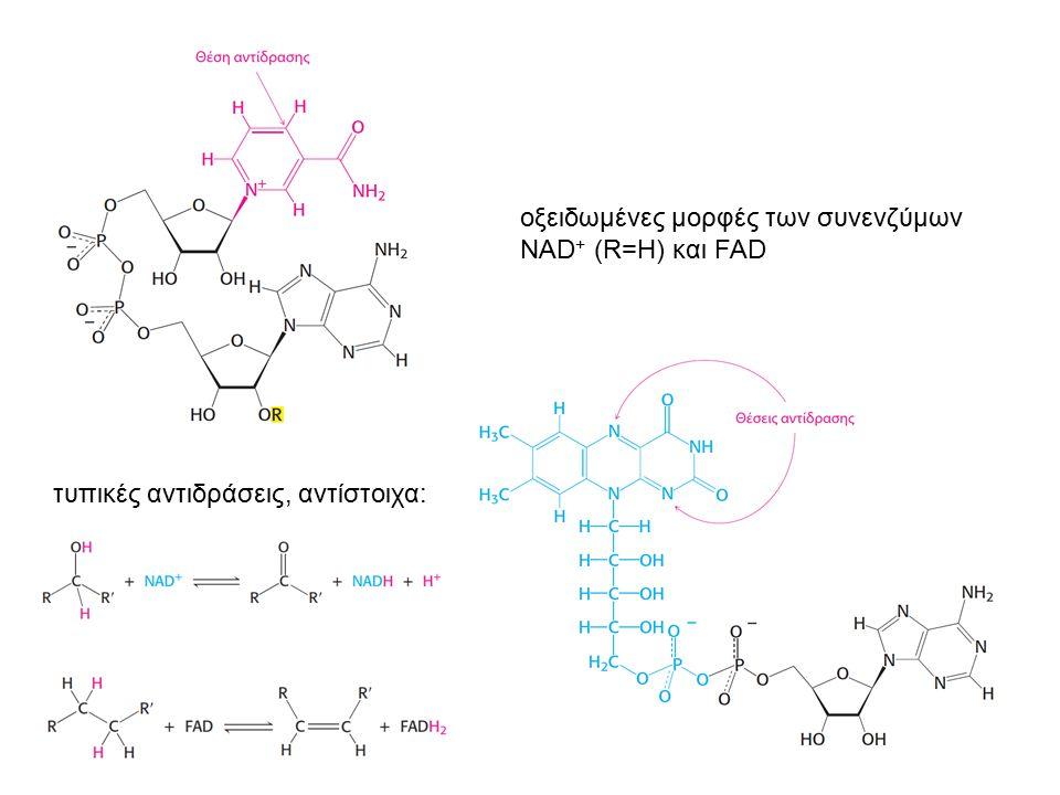 οξειδωμένες μορφές των συνενζύμων NAD + (R=H) και FAD τυπικές αντιδράσεις, αντίστοιχα: