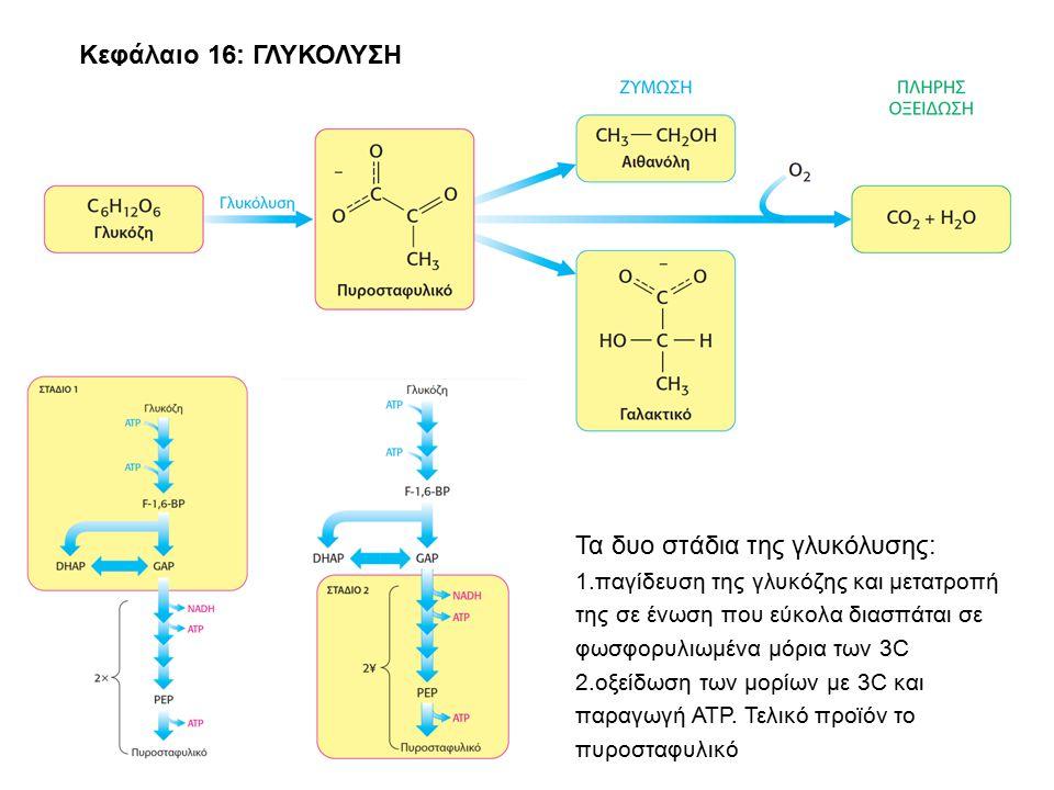 Κεφάλαιο 16: ΓΛΥΚΟΛΥΣΗ Τα δυο στάδια της γλυκόλυσης: 1.παγίδευση της γλυκόζης και μετατροπή της σε ένωση που εύκολα διασπάται σε φωσφορυλιωμένα μόρια