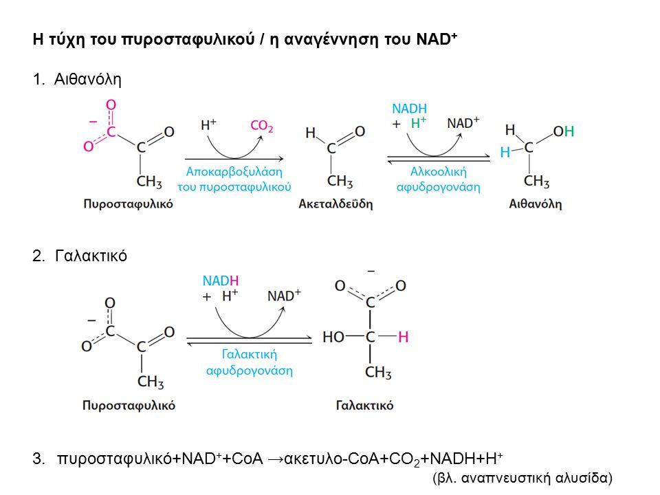 Η τύχη του πυροσταφυλικού / η αναγέννηση του NAD + 1. Αιθανόλη 2. Γαλακτικό 3.πυροσταφυλικό+NAD + +CoA → ακετυλο-CoA+CO 2 +NADH+H + (βλ. αναπνευστική