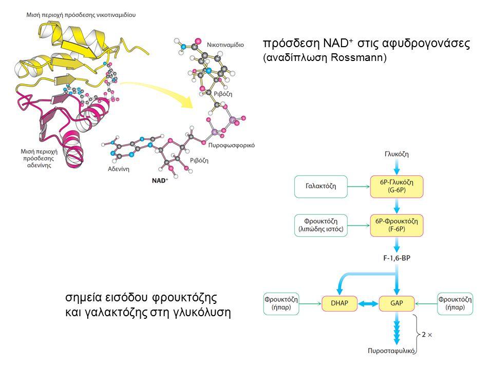 πρόσδεση NAD + στις αφυδρογονάσες (αναδίπλωση Rossmann) σημεία εισόδου φρουκτόζης και γαλακτόζης στη γλυκόλυση