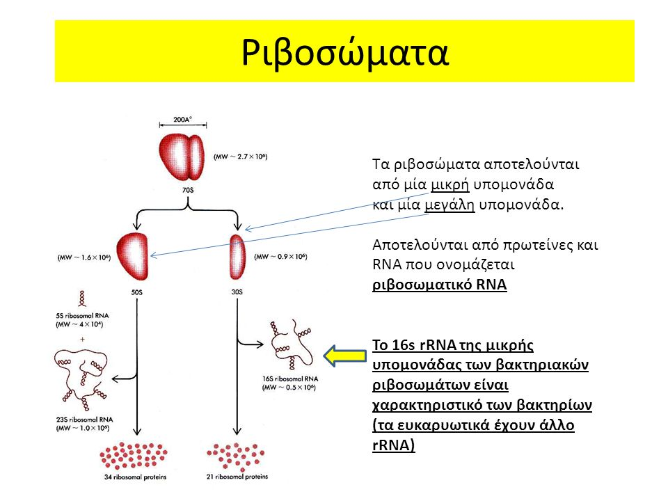 Ριβοσώματα Τα ριβοσώματα αποτελούνται από μία μικρή υπομονάδα και μία μεγάλη υπομονάδα. Αποτελούνται από πρωτείνες και RNA που ονομάζεται ριβοσωματικό