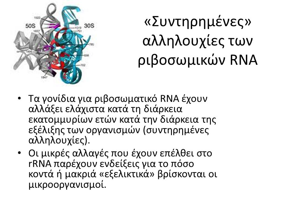 «Συντηρημένες» αλληλουχίες των ριβοσωμικών RNA Τα γονίδια για ριβοσωματικό RNA έχουν αλλάξει ελάχιστα κατά τη διάρκεια εκατομμυρίων ετών κατά την διάρκεια της εξέλιξης των οργανισμών (συντηρημένες αλληλουχίες).