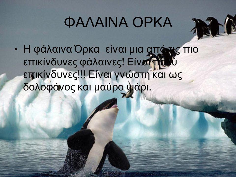 ΦΑΛΑΙΝΑ ΟΡΚΑ Η φάλαινα Όρκα είναι μια από τις πιο επικίνδυνες φάλαινες! Είναι πολύ επικίνδυνες!!! Είναι γνώστη και ως δολοφόνος και μαύρο ψάρι.