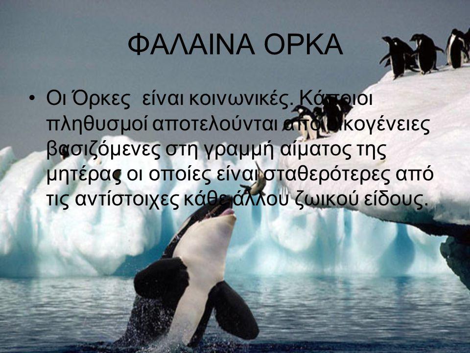 ΦΑΛΑΙΝΑ ΟΡΚΑ Η φάλαινα όρκα μπορεί να γίνει άγρια μα όχι με τον άνθρωπο.