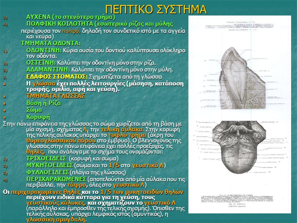 ΠΕΠΤΙΚΟ ΣΥΣΤΗΜΑ 3) ΑΥΧΕΝΑ (το στενότερο τμήμα) 4) ΠΟΛΦΙΚΗ ΚΟΙΛΟΤΗΤΑ (εσωτερικό ρίζας και μύλης περιέχουσα τον πολφό, δηλαδή τον συνδετικό ιστό με τα α