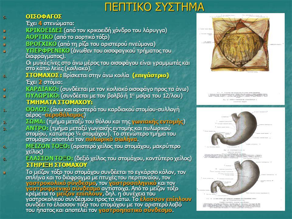 ΠΕΠΤΙΚΟ ΣΥΣΤΗΜΑ 5. ΟΙΣΟΦΑΓΟΣ Έχει 4 στενώματα: Έχει 4 στενώματα: ΚΡΙΚΟΕΙΔΕΣ (από τον κρικοειδή χόνδρο του λάρυγγα) ΚΡΙΚΟΕΙΔΕΣ (από τον κρικοειδή χόνδρ