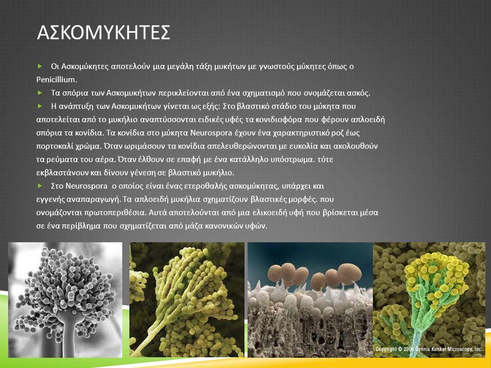ΑΣΚΟΜΥΚΗΤΕΣ  Οι Ασκομύκητες αποτελούν μια μεγάλη τάξη μυκήτων με γνωστούς μύκητες όπως ο Penicillium.  Τα σπόρια των Ασκομυκήτων περικλείονται από έ