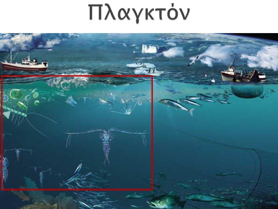 5-2000 μm 2 μαστίγια περίβλημα κυτταρίνης διαφορετικές πηγές ενέργειας παραγωγή τοξινών από κάποια είδη (ερυθρές παλίρροιες) Πρώτιστα