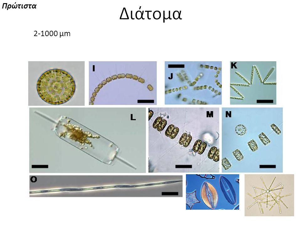 2-1000 μm μονήρη κύτταρα, αποικίες ή αλυσίδες Πρώτιστα