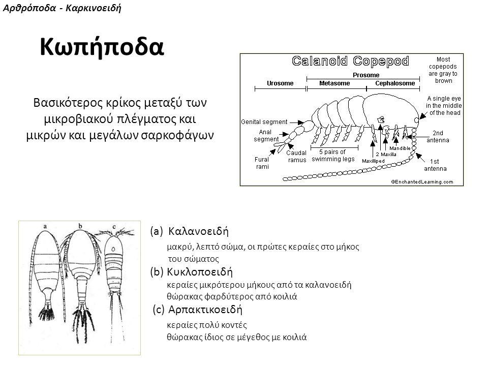 (a)Καλανοειδή μακρύ, λεπτό σώμα, οι πρώτες κεραίες στο μήκος του σώματος (b) Κυκλοποειδή κεραίες μικρότερου μήκους από τα καλανοειδή θώρακας φαρδύτερο
