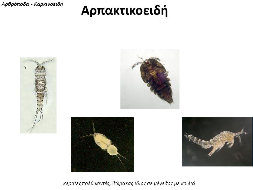 Tisbe Αρθρόποδα - Καρκινοειδή κεραίες πολύ κοντές, θώρακας ίδιος σε μέγεθος με κοιλιά Αρπακτικοειδή