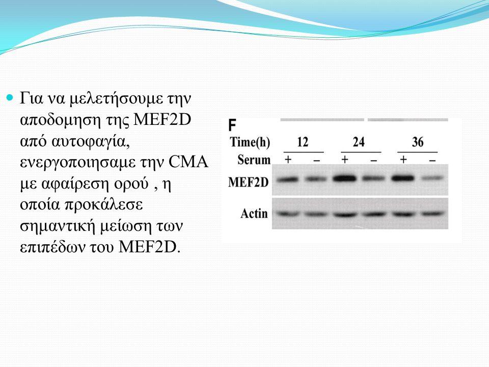 Για να μελετήσουμε την αποδομηση της MEF2D από αυτοφαγία, ενεργοποιησαμε την CMA με αφαίρεση ορού, η οποία προκάλεσε σημαντική μείωση των επιπέδων του MEF2D.