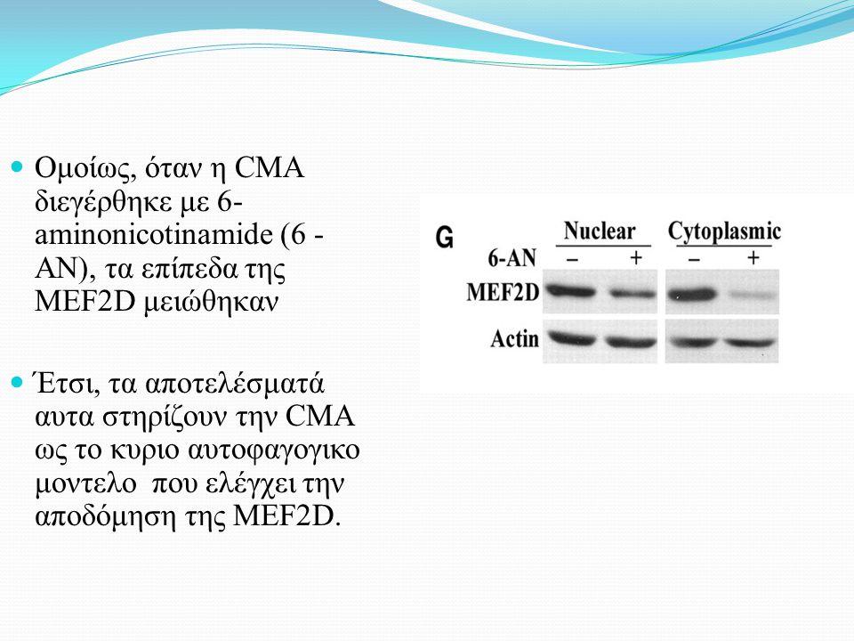 Ομοίως, όταν η CMA διεγέρθηκε με 6- aminonicotinamide (6 - AN), τα επίπεδα της MEF2D μειώθηκαν Έτσι, τα αποτελέσματά αυτα στηρίζουν την CMA ως το κυριο αυτοφαγογικο μοντελο που ελέγχει την αποδόμηση της MEF2D.