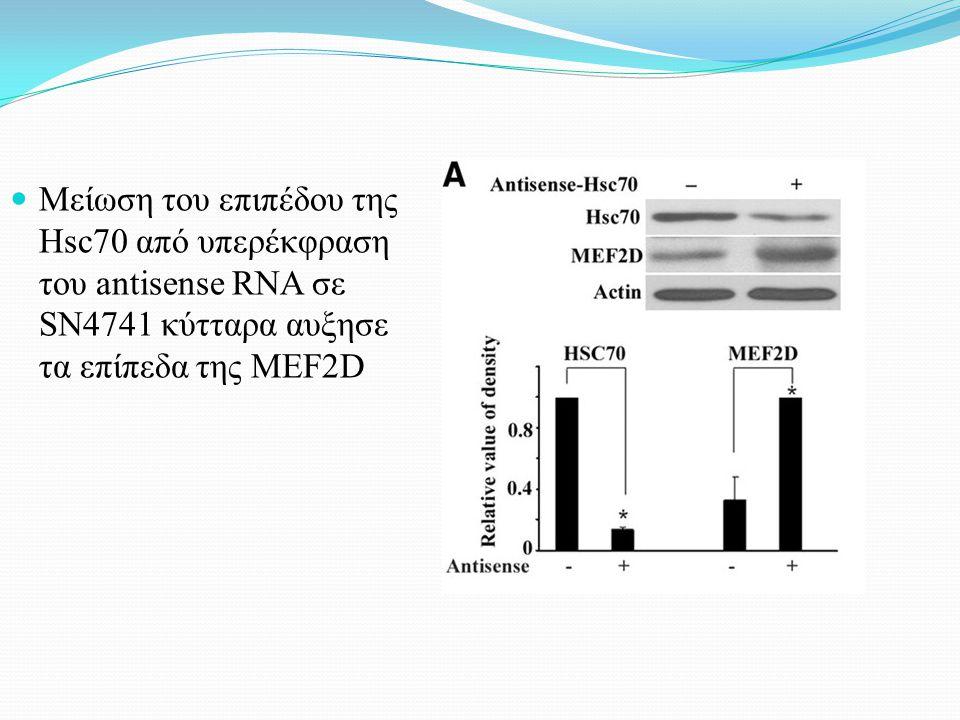 Μείωση του επιπέδου της Hsc70 από υπερέκφραση του antisense RNA σε SN4741 κύτταρα αυξησε τα επίπεδα της MEF2D
