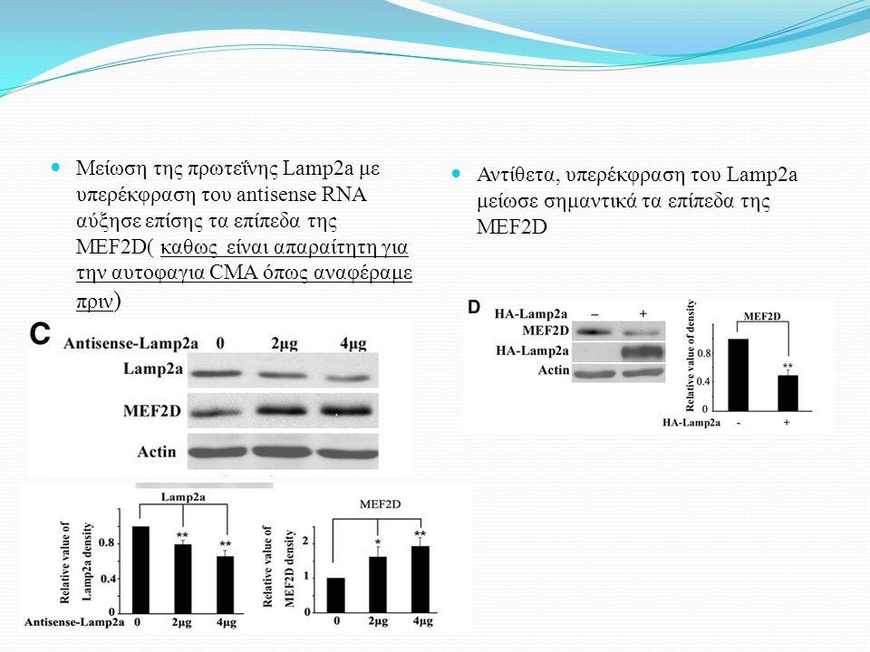 Μείωση της πρωτεΐνης Lamp2a με υπερέκφραση του antisense RNA αύξησε επίσης τα επίπεδα της MEF2D( καθως είναι απαραίτητη για την αυτοφαγια CMA όπως ανα