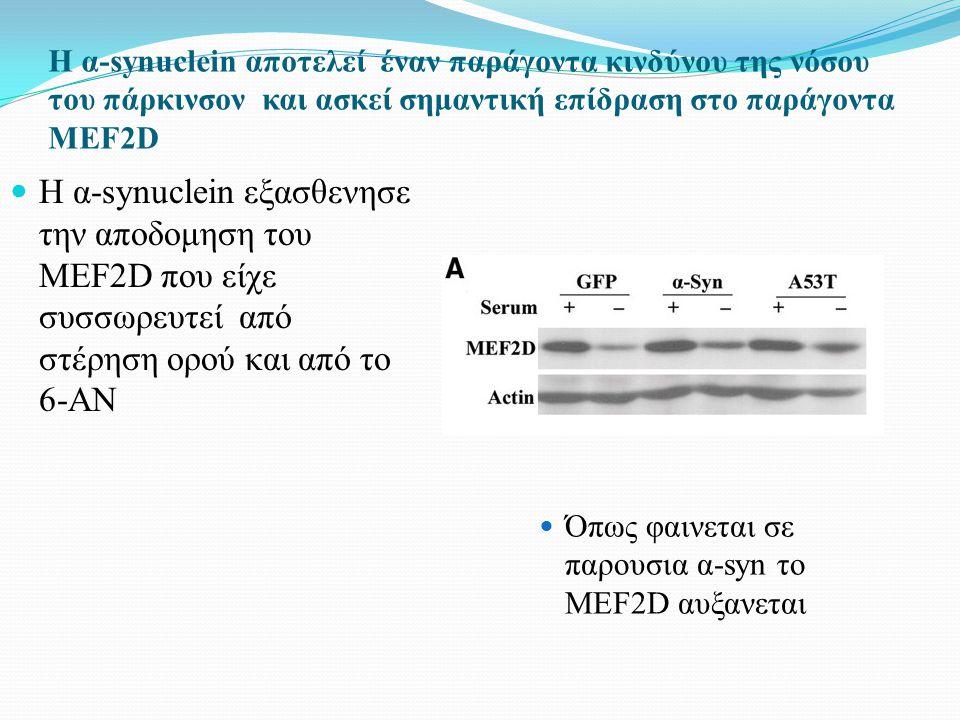 Η α-synuclein αποτελεί έναν παράγοντα κινδύνου της νόσου του πάρκινσον και ασκεί σημαντική επίδραση στο παράγοντα MEF2D Η α-synuclein εξασθενησε την αποδομηση του MEF2D που είχε συσσωρευτεί από στέρηση ορού και από το 6-ΑΝ Όπως φαινεται σε παρουσια α-syn το MEF2D αυξανεται