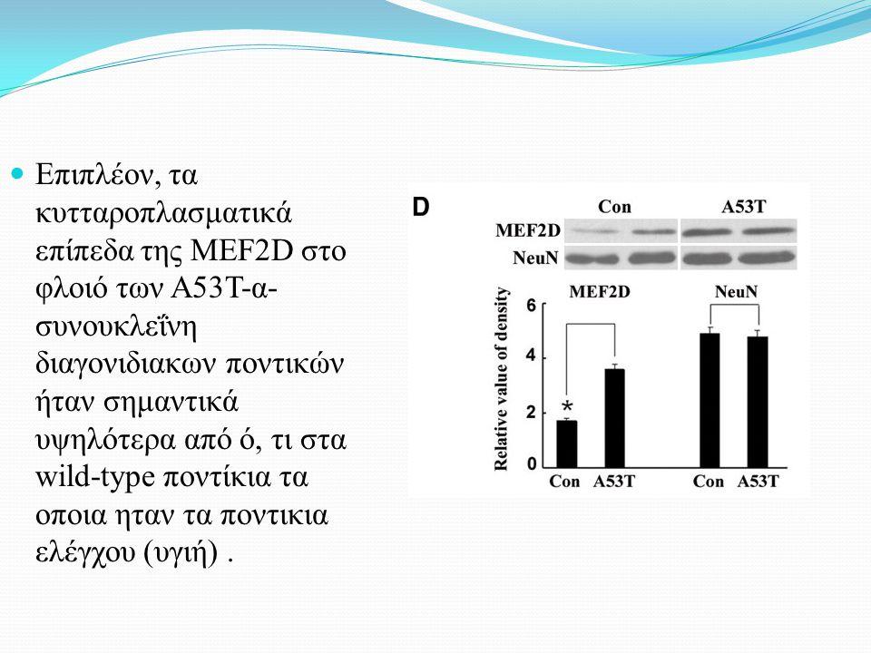 Επιπλέον, τα κυτταροπλασματικά επίπεδα της MEF2D στο φλοιό των A53T-α- συνουκλεΐνη διαγονιδιακων ποντικών ήταν σημαντικά υψηλότερα από ό, τι στα wild-type ποντίκια τα οποια ηταν τα ποντικια ελέγχου (υγιή).