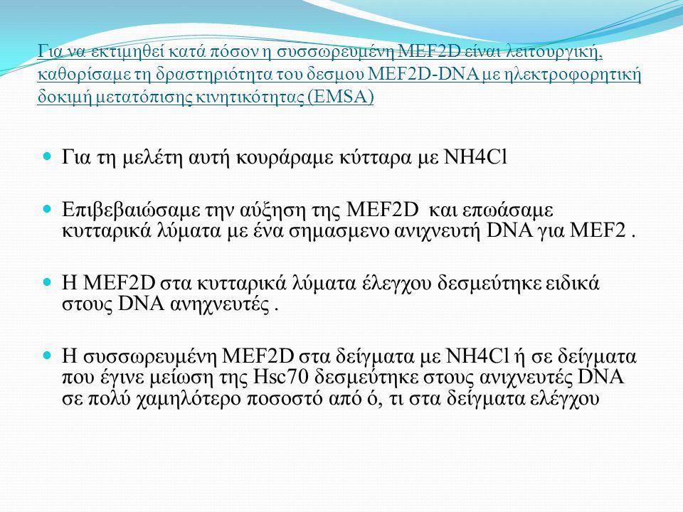 Για να εκτιμηθεί κατά πόσον η συσσωρευμένη MEF2D είναι λειτουργική, καθορίσαμε τη δραστηριότητα του δεσμου MEF2D-DNA με ηλεκτροφορητική δοκιμή μετατόπισης κινητικότητας (EMSA) Για τη μελέτη αυτή κουράραμε κύτταρα με NH4Cl Επιβεβαιώσαμε την αύξηση της MEF2D και επωάσαμε κυτταρικά λύματα με ένα σημασμενο ανιχνευτή DNA για MEF2.