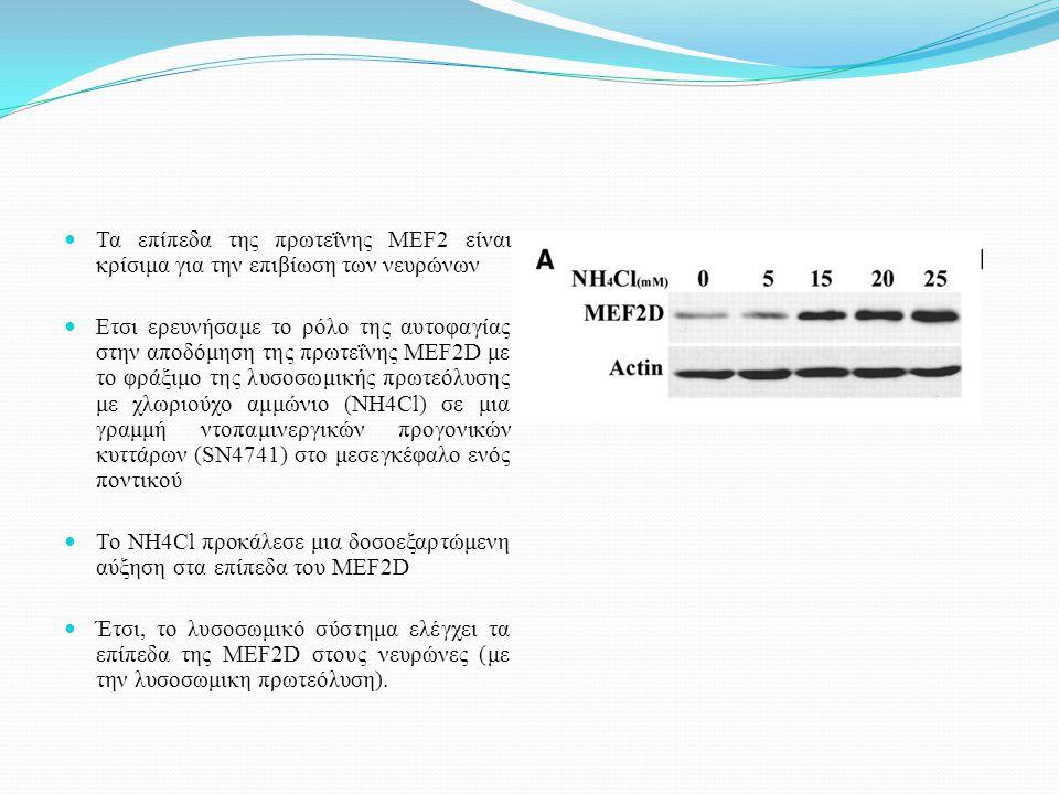 Τα επίπεδα της πρωτεΐνης MEF2 είναι κρίσιμα για την επιβίωση των νευρώνων Ετσι ερευνήσαμε το ρόλο της αυτοφαγίας στην αποδόμηση της πρωτεΐνης MEF2D με το φράξιμο της λυσοσωμικής πρωτεόλυσης με χλωριούχο αμμώνιο (NH4Cl) σε μια γραμμή ντοπαμινεργικών προγονικών κυττάρων (SN4741) στο μεσεγκέφαλο ενός ποντικού Το NH4Cl προκάλεσε μια δοσοεξαρτώμενη αύξηση στα επίπεδα του MEF2D Έτσι, το λυσοσωμικό σύστημα ελέγχει τα επίπεδα της MEF2D στους νευρώνες (με την λυσοσωμικη πρωτεόλυση).