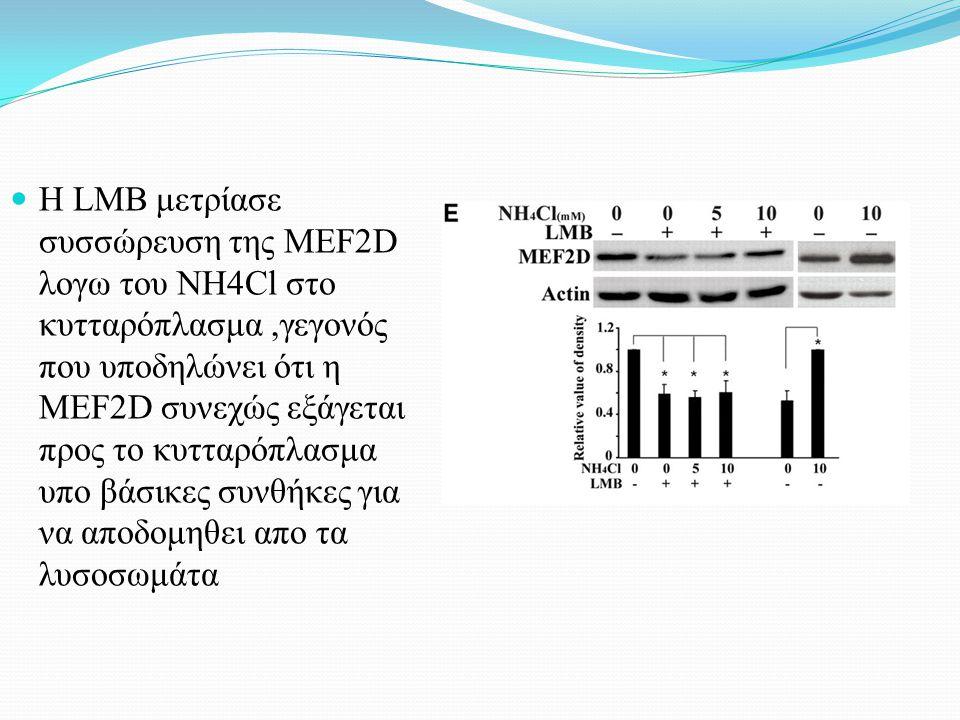Η LMB μετρίασε συσσώρευση της MEF2D λογω του NH4Cl στο κυτταρόπλασμα,γεγονός που υποδηλώνει ότι η MEF2D συνεχώς εξάγεται προς το κυτταρόπλασμα υπο βάσικες συνθήκες για να αποδομηθει απο τα λυσοσωμάτα