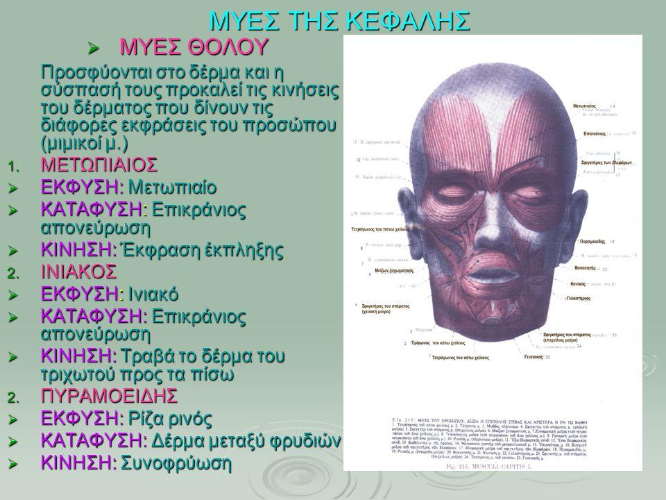 ΜΥΕΣ ΤΗΣ ΚΕΦΑΛΗΣ  ΜΥΕΣ ΘΟΛΟΥ Προσφύονται στο δέρμα και η σύσπασή τους προκαλεί τις κινήσεις του δέρματος που δίνουν τις διάφορες εκφράσεις του προσώπ
