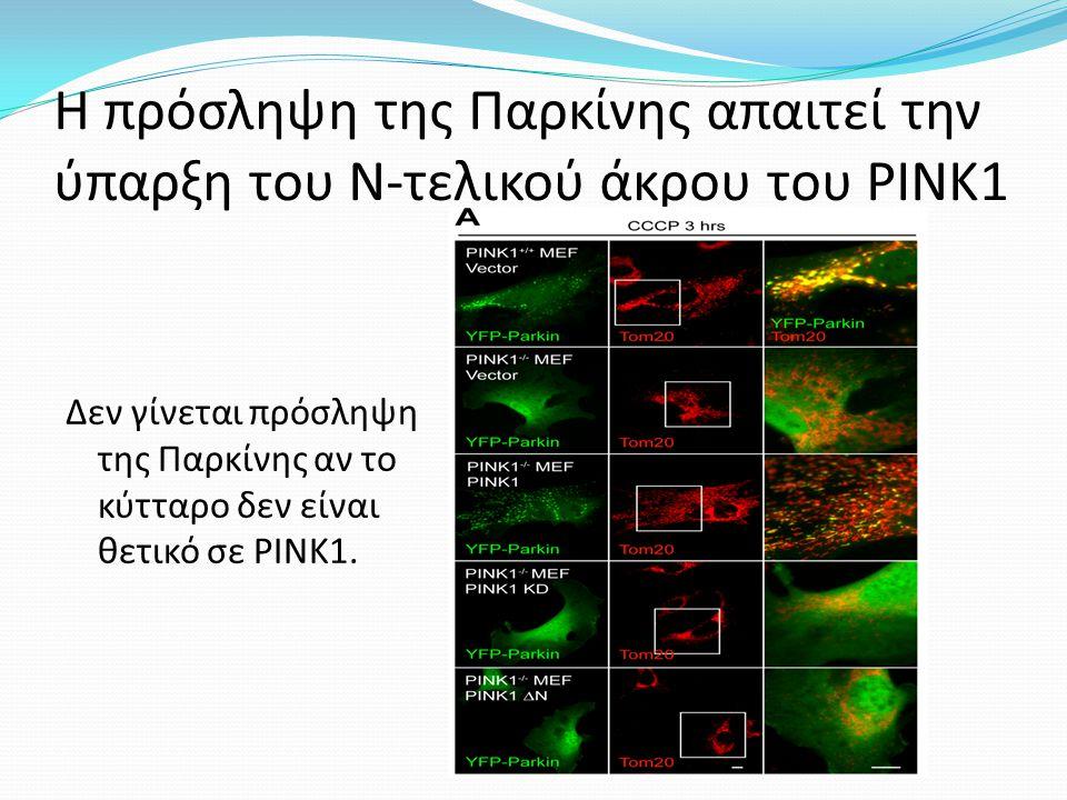 Η πρόσληψη της Παρκίνης απαιτεί την ύπαρξη του Ν-τελικού άκρου του ΡΙΝΚ1 Δεν γίνεται πρόσληψη της Παρκίνης αν το κύτταρο δεν είναι θετικό σε ΡΙΝΚ1.