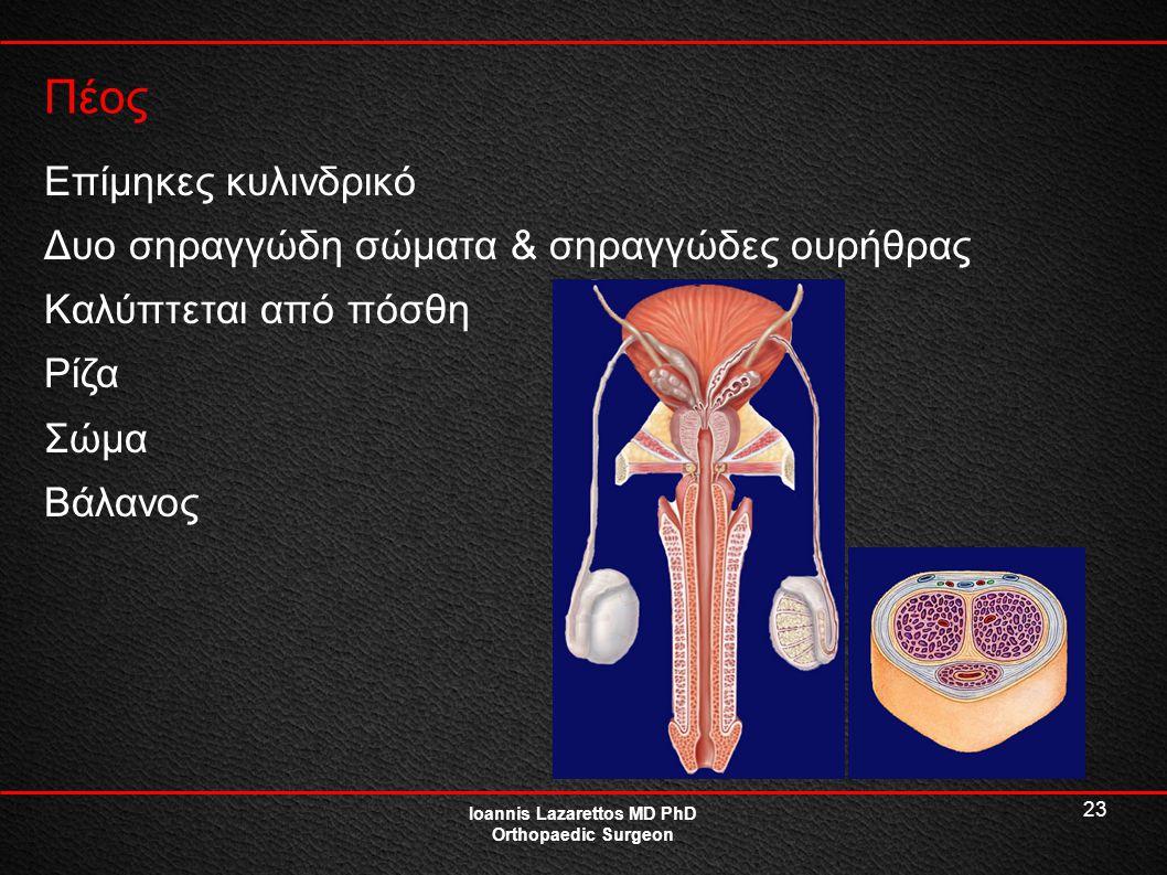 23 Πέος Ioannis Lazarettos MD PhD Orthopaedic Surgeon Επίμηκες κυλινδρικό Δυο σηραγγώδη σώματα & σηραγγώδες ουρήθρας Καλύπτεται από πόσθη Ρίζα Σώμα Βά