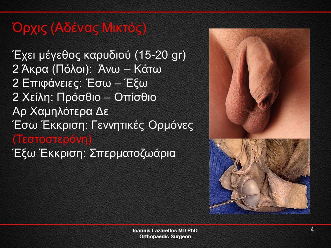 4 Όρχις (Αδένας Μικτός) Ioannis Lazarettos MD PhD Orthopaedic Surgeon Έχει μέγεθος καρυδιού (15-20 gr) 2 Άκρα (Πόλοι): Άνω – Κάτω 2 Επιφάνειες: Έσω –
