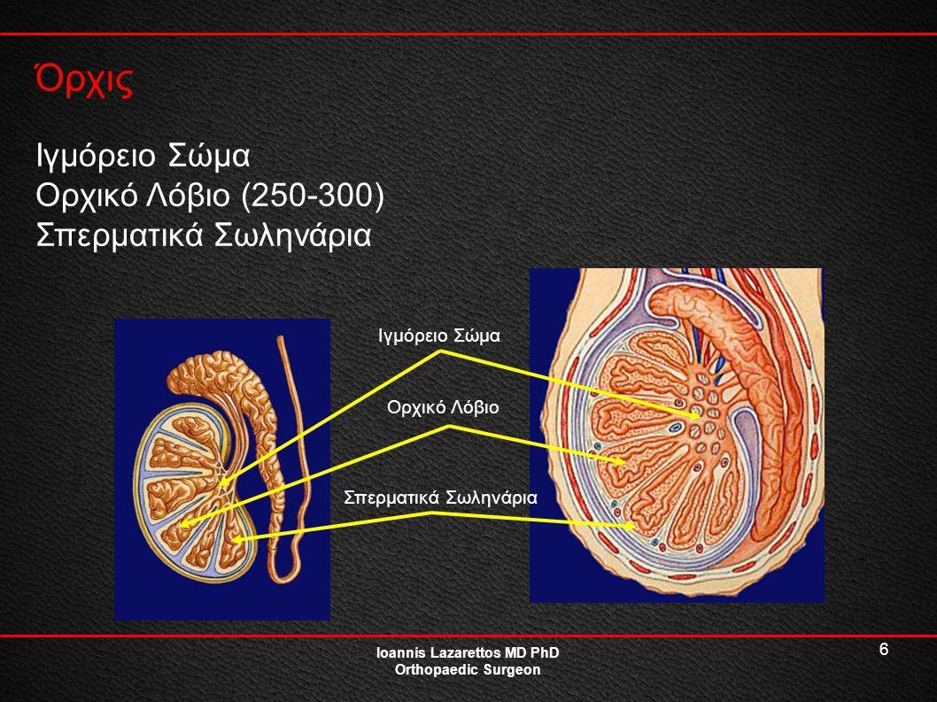 6 Όρχις Ioannis Lazarettos MD PhD Orthopaedic Surgeon Ιγμόρειο Σώμα Ορχικό Λόβιο (250-300) Σπερματικά Σωληνάρια Ιγμόρειο Σώμα Ορχικό Λόβιο Σπερματικά