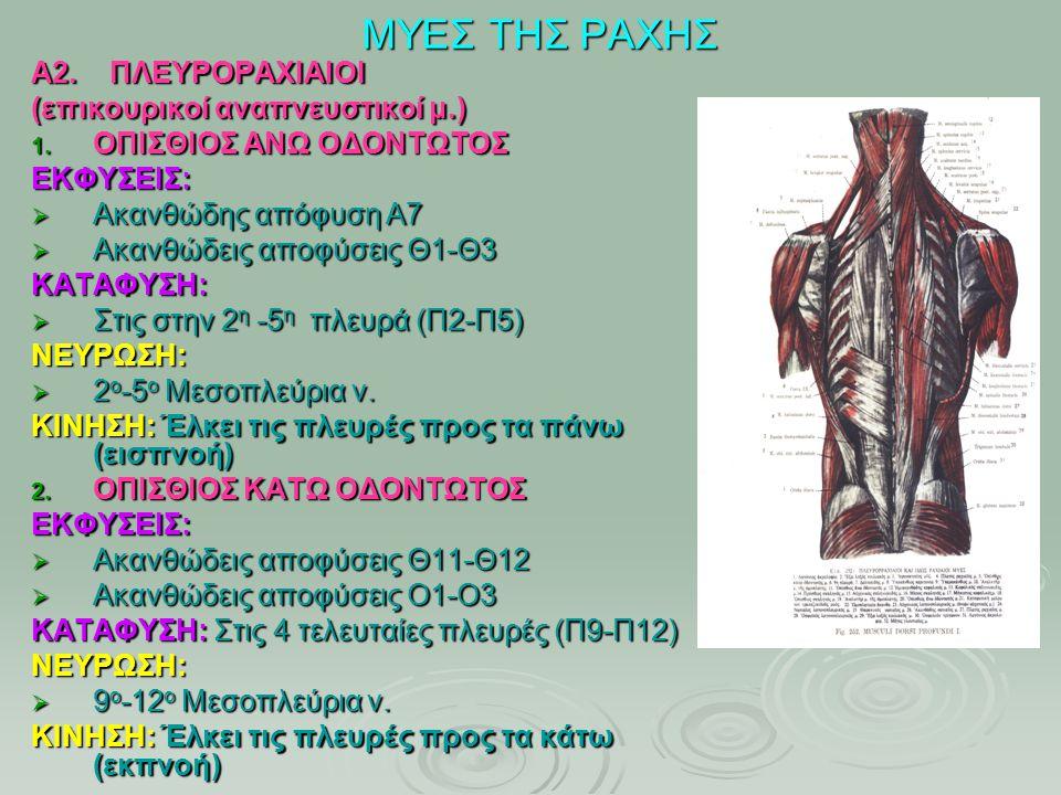 ΜΥΕΣ ΤΗΣ ΡΑΧΗΣ Α2. ΠΛΕΥΡΟΡΑΧΙΑΙΟΙ (επικουρικοί αναπνευστικοί μ.) 1. ΟΠΙΣΘΙΟΣ ΑΝΩ ΟΔΟΝΤΩΤΟΣ ΕΚΦΥΣΕΙΣ:  Ακανθώδης απόφυση Α7  Ακανθώδεις αποφύσεις Θ1-