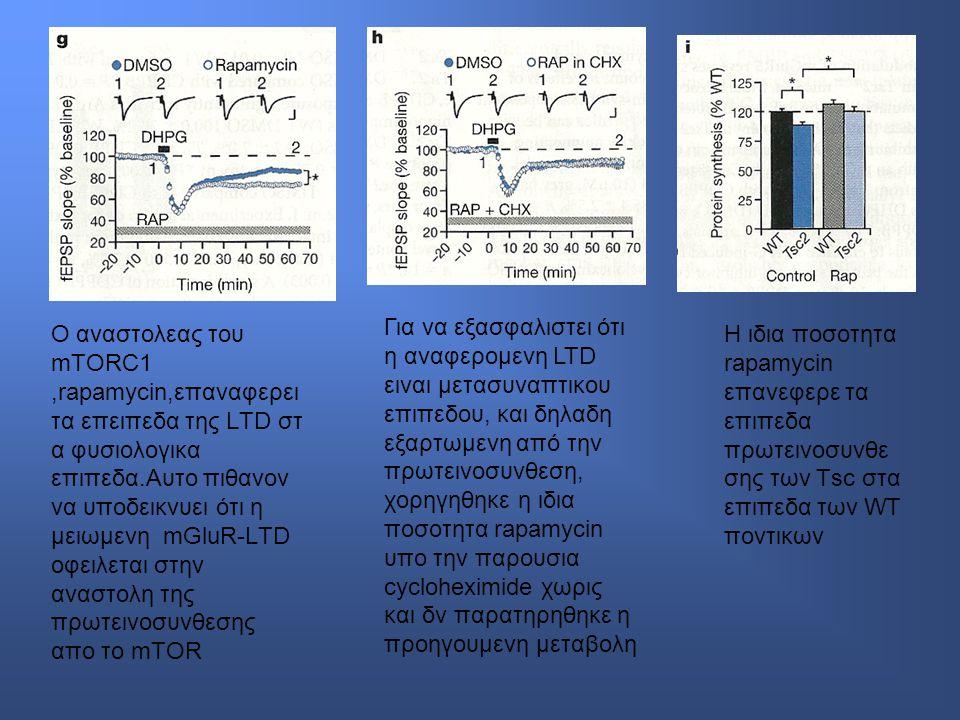 Ο αναστολεας του mTORC1,rapamycin,επαναφερει τα επειπεδα της LTD στ α φυσιολογικα επιπεδα.Αυτο πιθανον να υποδεικνυει ότι η μειωμενη mGluR-LTD οφειλεται στην αναστολη της πρωτεινοσυνθεσης απο το mTOR Για να εξασφαλιστει ότι η αναφερομενη LTD ειναι μετασυναπτικου επιπεδου, και δηλαδη εξαρτωμενη από την πρωτεινοσυνθεση, χορηγηθηκε η ιδια ποσοτητα rapamycin υπο την παρουσια cycloheximide χωρις και δν παρατηρηθηκε η προηγουμενη μεταβολη Η ιδια ποσοτητα rapamycin επανεφερε τα επιπεδα πρωτεινοσυνθε σης των Τsc στα επιπεδα των WT ποντικων