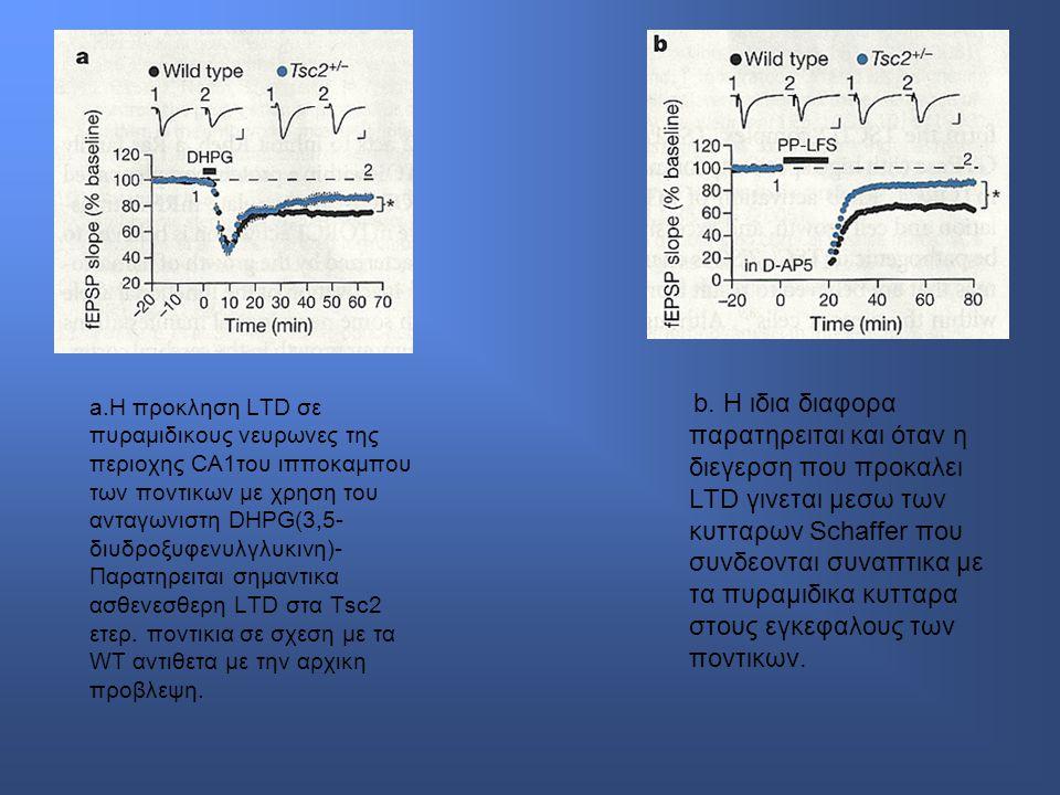 a.Η προκληση LTD σε πυραμιδικους νευρωνες της περιοχης CA1του ιπποκαμπου των ποντικων με χρηση του ανταγωνιστη DHPG(3,5- διυδροξυφενυλγλυκινη)- Παρατηρειται σημαντικα ασθενεσθερη LTD στα Tsc2 ετερ.