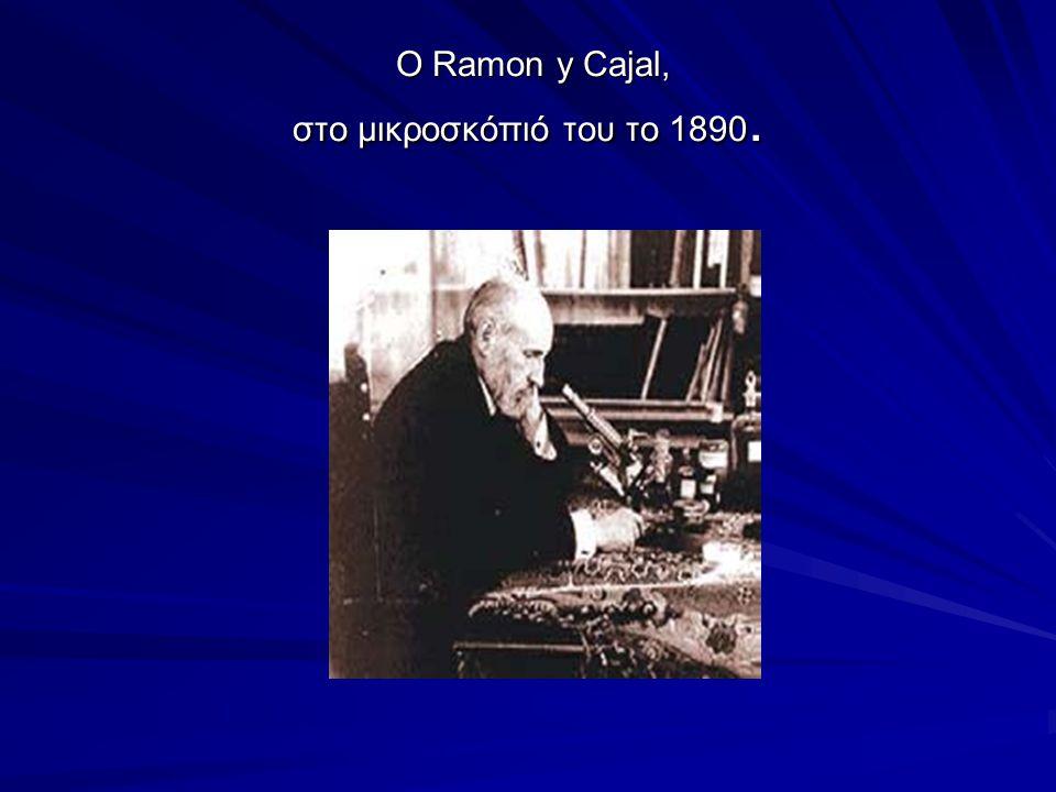 Santiago Ramón y Cajal (1852 – 1934) Ισπανός παθολογοανατόμος και νευροεπιστήμονας, βραβείο Νόμπελ 1906 Ισπανός παθολογοανατόμος και νευροεπιστήμονας, βραβείο Νόμπελ 1906 Περιέγραψε την κυτταρική δομή των νευρώνων.