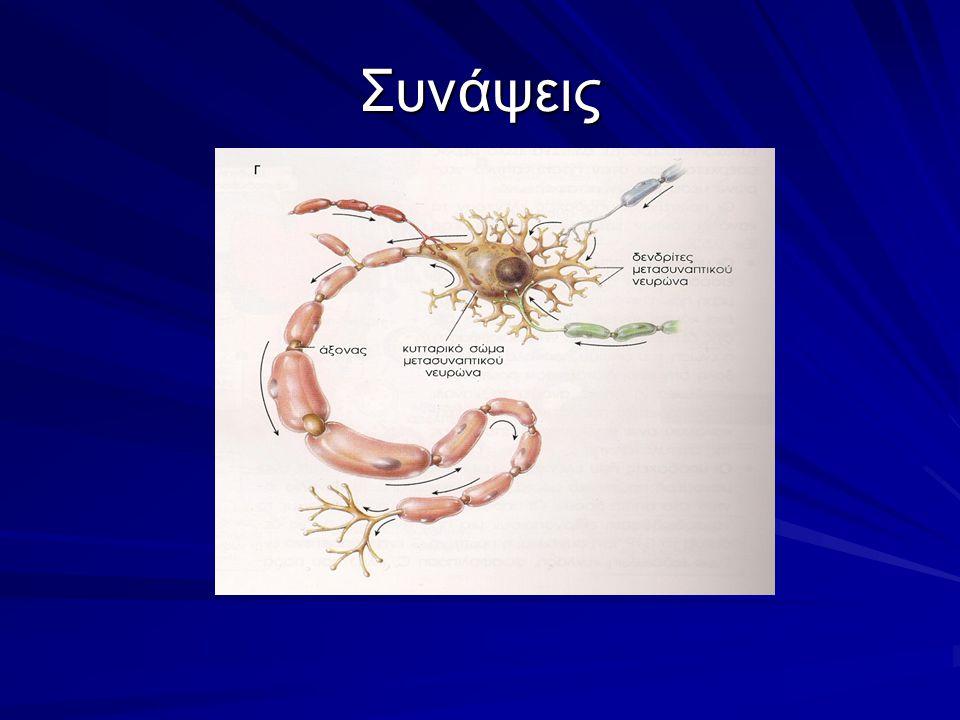 Οι συνάψεις είναι διαστήματα μεταξύ των νευρώνων, μέσω των οποίων μεταδίδονται τα μηνύματα.