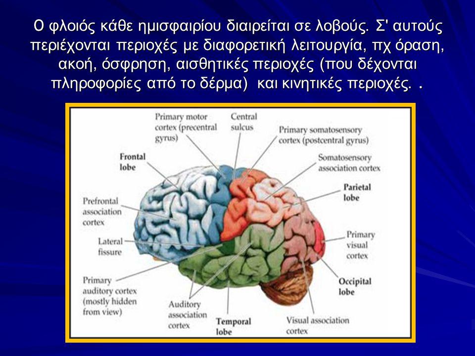 Ο Φλοιός του εγκεφάλου Η πιο αναπτυγμένη και η πιο περίπλοκη εγκεφαλική δομή, περιβάλλει το υπόλοιπο του εγκεφάλου, αποτελεί το 85% της μάζας του. ΄Εδ
