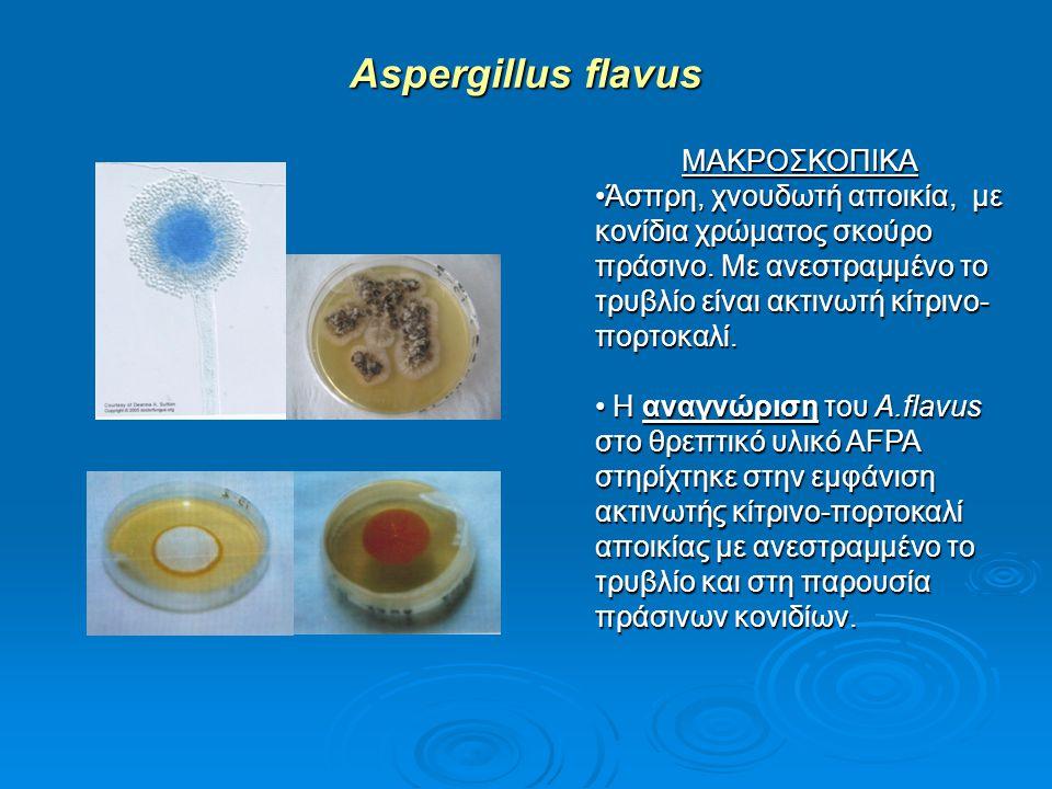Aspergillus flavus ΜΑΚΡΟΣΚΟΠΙΚΑ Άσπρη, χνουδωτή αποικία, με κονίδια χρώματος σκούρο πράσινο. Με ανεστραμμένο το τρυβλίο είναι ακτινωτή κίτρινο- πορτοκ