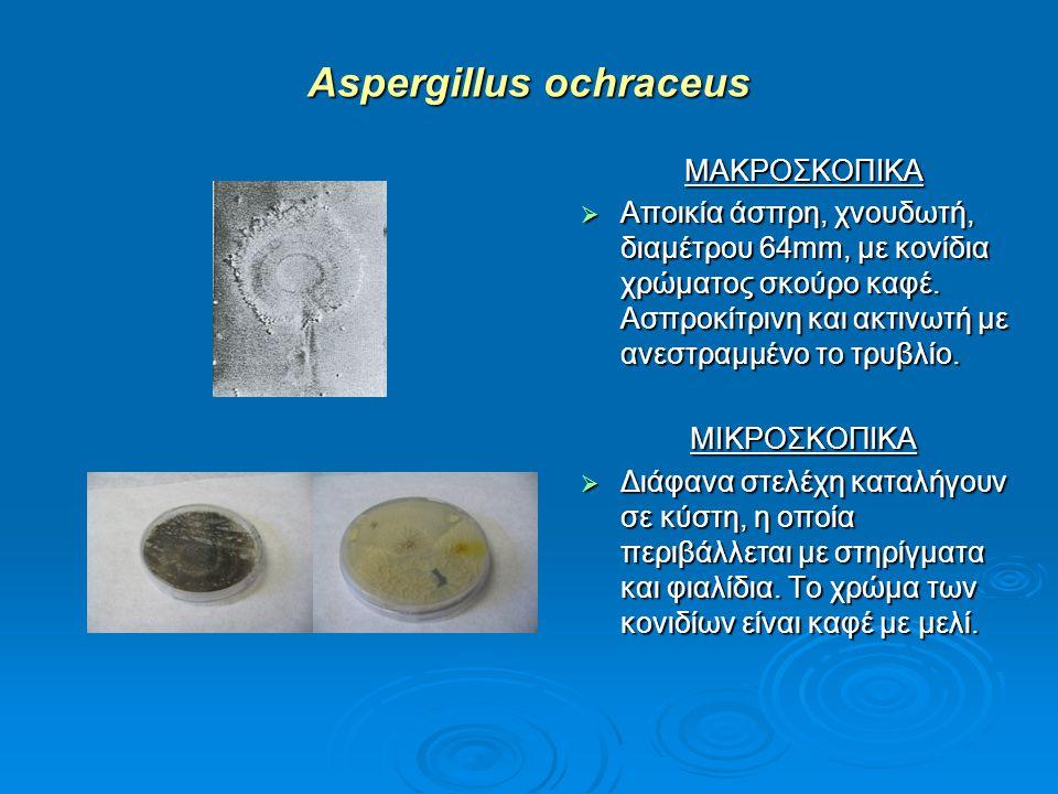 Aspergillus ochraceus ΜΑΚΡΟΣΚΟΠΙΚΑ  Αποικία άσπρη, χνουδωτή, διαμέτρου 64mm, με κονίδια χρώματος σκούρο καφέ. Ασπροκίτρινη και ακτινωτή με ανεστραμμέ