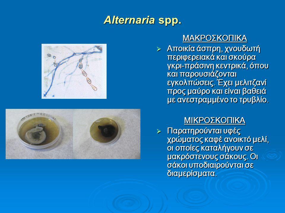 Alternaria spp. ΜΑΚΡΟΣΚΟΠΙΚΑ  Αποικία άσπρη, χνουδωτή περιφερειακά και σκούρα γκρι-πράσινη κεντρικά, όπου και παρουσιάζονται εγκολπώσεις. Έχει μελιτζ
