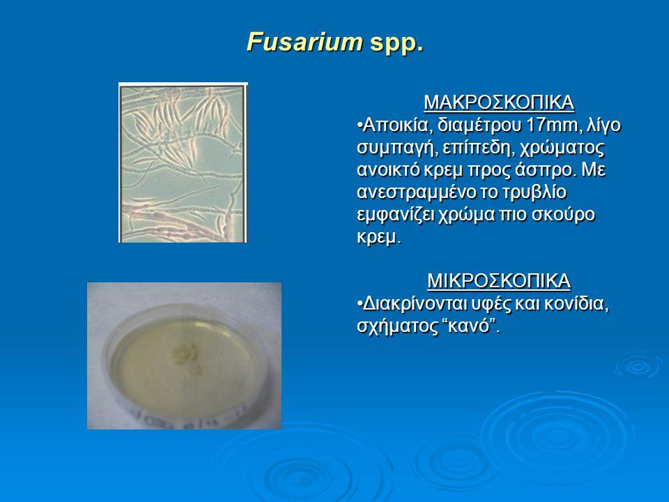 Fusarium spp. ΜΑΚΡΟΣΚΟΠΙΚΑ Αποικία, διαμέτρου 17mm, λίγο συμπαγή, επίπεδη, χρώματος ανοικτό κρεμ προς άσπρο. Με ανεστραμμένο το τρυβλίο εμφανίζει χρώμ