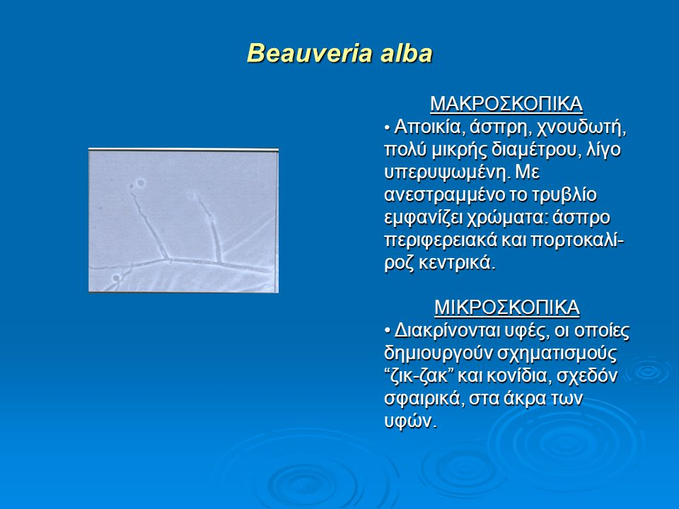 Beauveria alba ΜΑΚΡΟΣΚΟΠΙΚΑ Αποικία, άσπρη, χνουδωτή, πολύ μικρής διαμέτρου, λίγο υπερυψωμένη. Με ανεστραμμένο το τρυβλίο εμφανίζει χρώματα: άσπρο περ